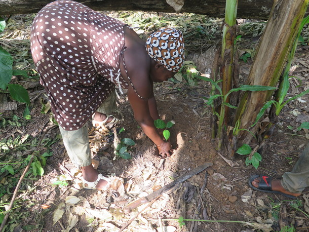 カカオの苗木の植樹