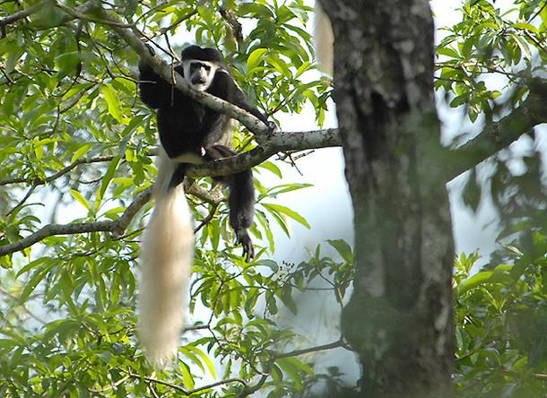 キリマンジャロ山の森に棲む黒白コロブスモンキー。山に暮らす村人たち(チャガ民族)が、彼らの伝統文化の中で最も大切にしてきた森の象徴とする動物です。