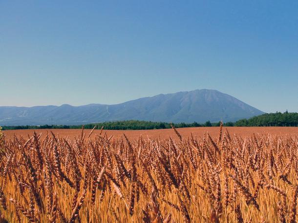 岩手県の麦畑