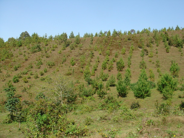 ここもかつての政府の森林プランテーション跡地。植わっているのは、政府による住民排除がされる以前に村人たちによって植えられた木。