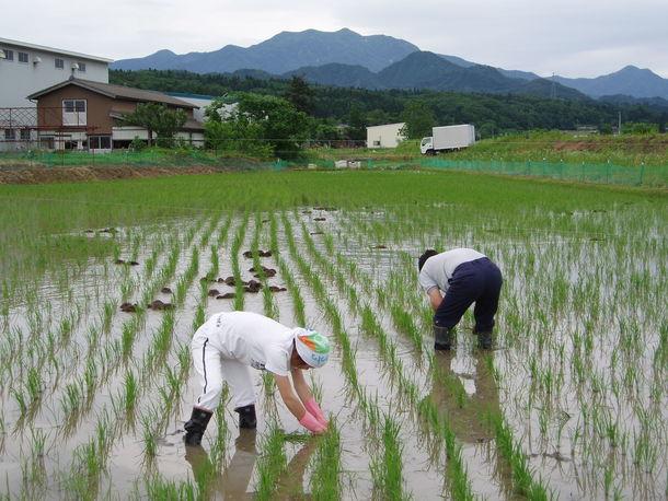 新潟コシヒカリ 合鴨農法