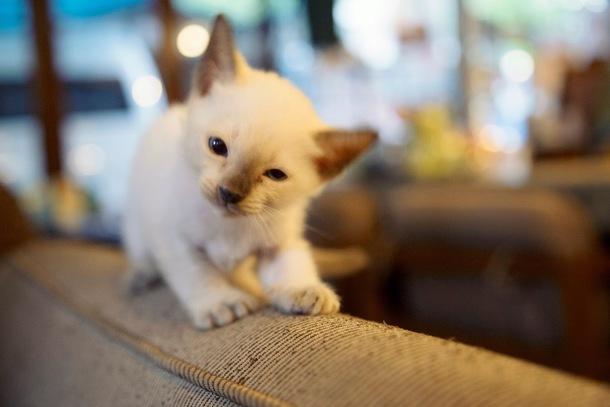 シャム猫の国タイで待っているニャン!