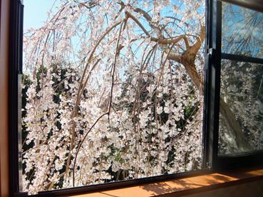 満開枝垂桜2