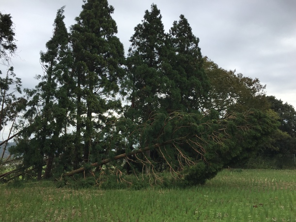 台風の影響で、倒木②