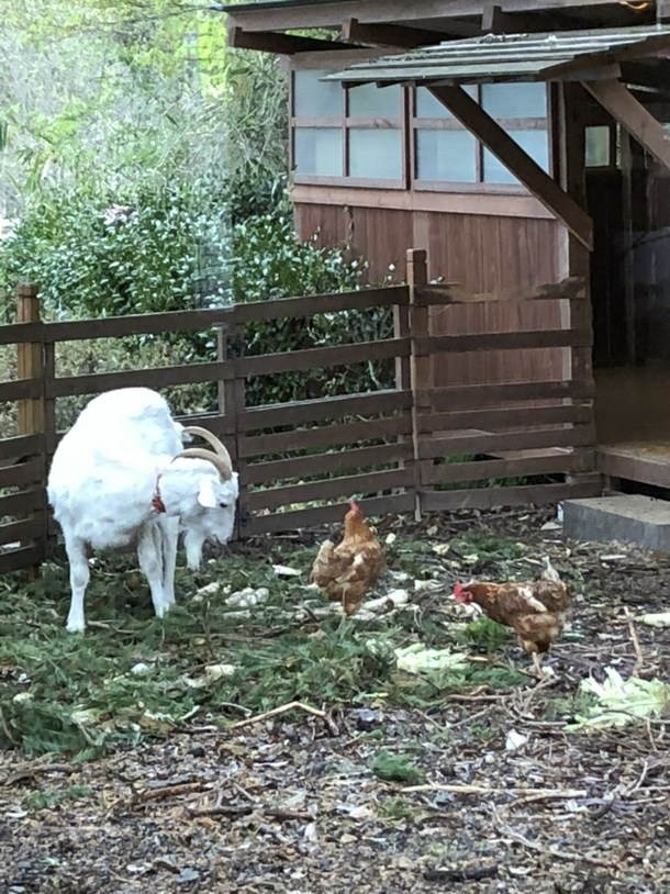 ヤギとニワトリ