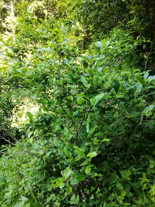 上勝町の乳酸発酵阿波晩茶,茶畑は整備されていません。