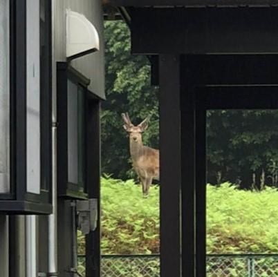 鹿がひょっこり