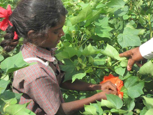 コットン畑で働く女の子