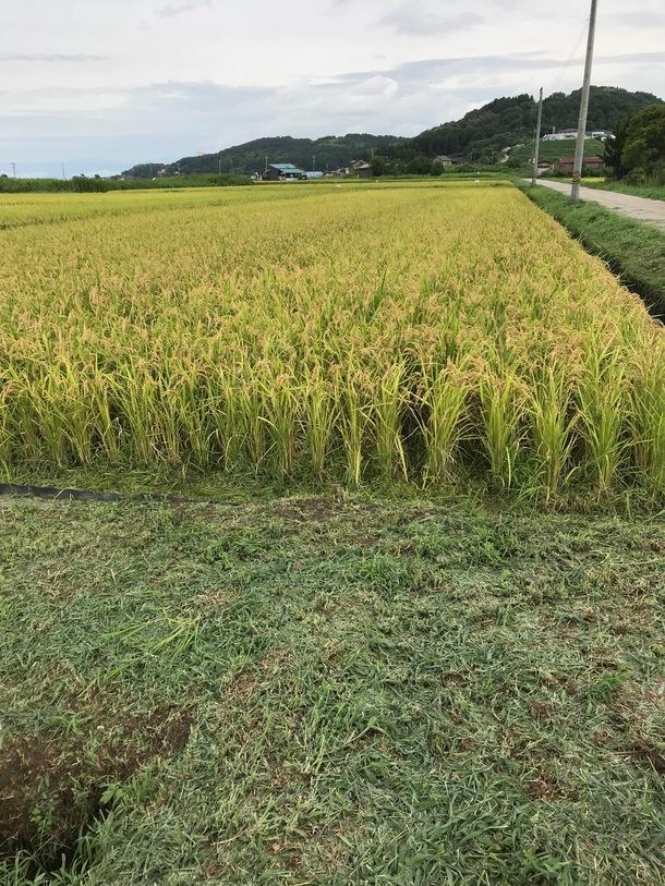 今年の収穫風景