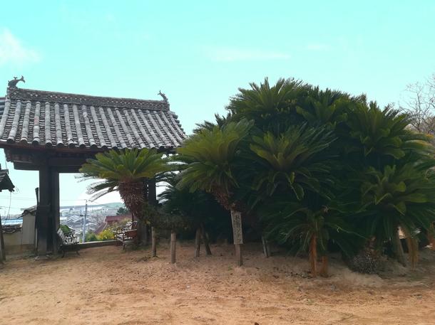 樹齢600年のソテツ