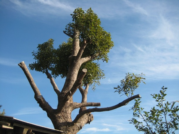 ツリーハウスの木