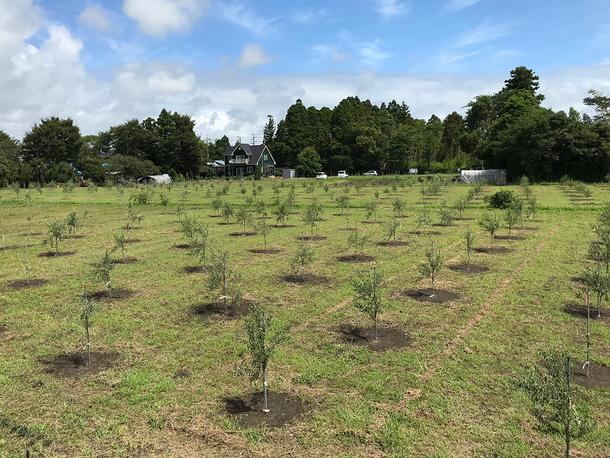 現在栽培中のオリーブ畑