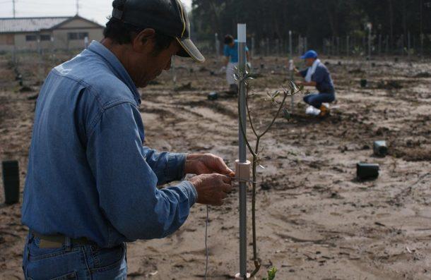オリーブの植樹。ひとつひとつ丁寧に支柱にくくりつけます