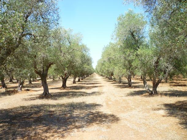 将来、このような緑いっぱいのオリーブの森になる予定です