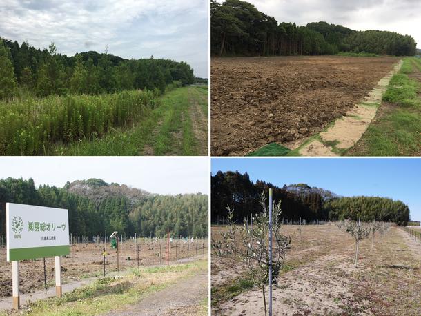 雑草で埋め尽くされていた土地が、オリーブ畑に生まれ変わりはじめています