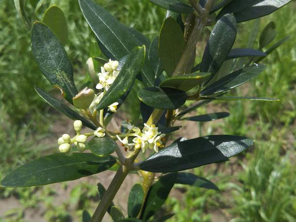 オリーブの小さな可憐な花