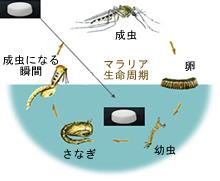 蚊の成長図