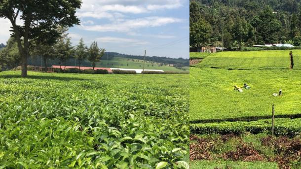 故郷ケリチョの紅茶畑