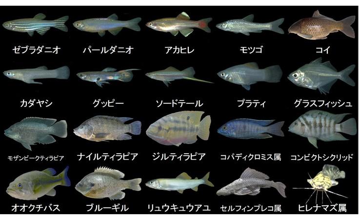 沖縄の外来魚