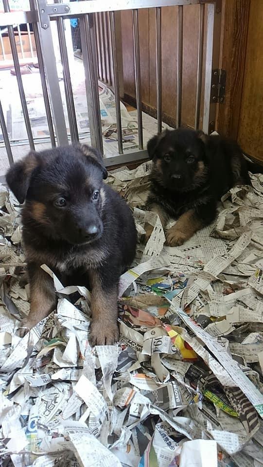 九州各県警へ警察犬として導入されています。。