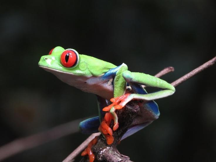 コスタリカの熱帯雨林を代表する生き物の1種である「アカメアマガエル」