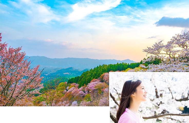 奈良県吉野山のソメイヨシノ