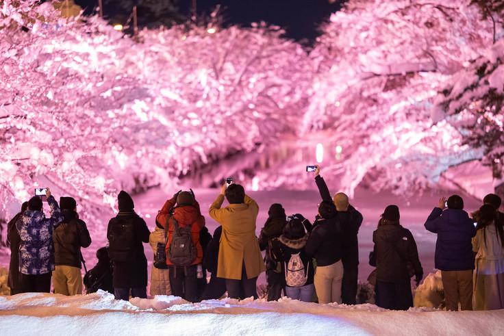 冬に咲くさくらライトアップ2019