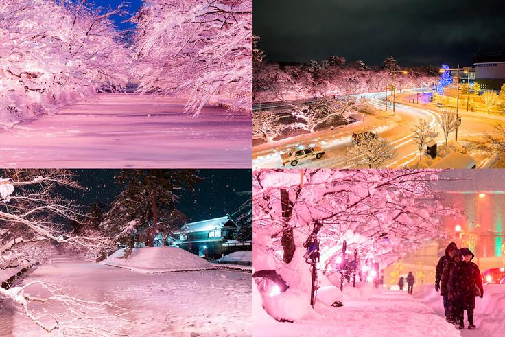 冬に咲くさくらライトアップの見頃