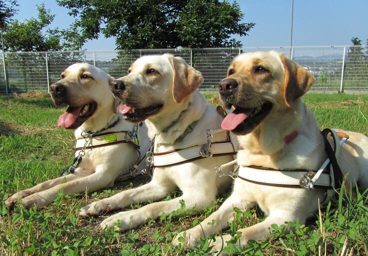 盲導犬たち