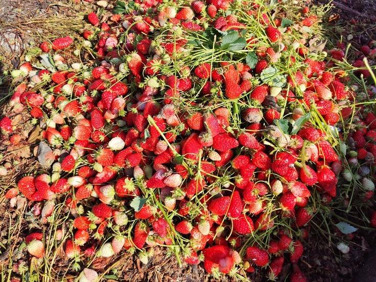 廃棄されたイチゴ