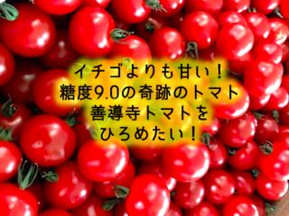 糖度9.0!イチゴより甘くておいしい善導寺トマトを広めたい!
