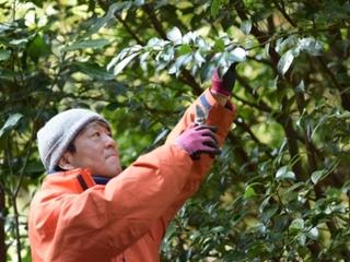 日本の神々にお供えする日本産の榊を守るため伊勢榊を届けたい!