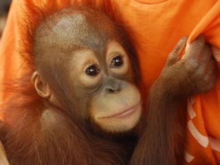 絶滅の危機に瀕したオランウータンの保護活動をサポートしたい!
