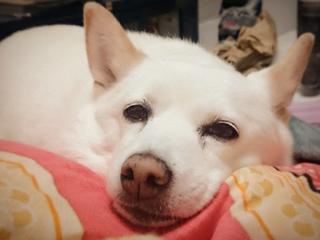 子宮蓄膿症になった愛犬【シロちゃん】の命を救いたい!