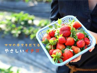 ママの手で育てる香り豊かな完熟イチゴ「さちのか」を全国へ!