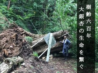 群馬 樹齢600年の長学寺・大銀杏が台風で倒木!再生保護に挑む
