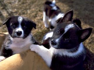 人とクマの共存のために働く犬「ベアドッグ」の出産に挑戦!