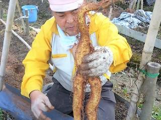 無農薬の「自然薯」をイノシシの脅威から守り、みんなの食卓へ!