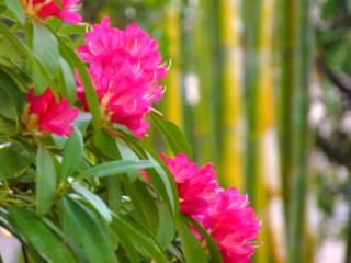 名古屋の真ん中に花の新名所『西洋シャクナゲの森』をつくりたい