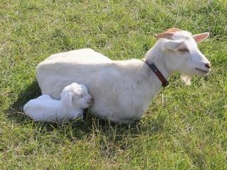 人の都合で捨てられるヤギを救うため、放牧場を建設したい!