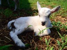 多摩ニュータウンに子供も遊べる「ヤギ牧場」を作りたい!