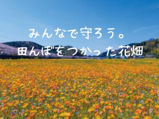 来年もこの景色が見たい。松崎町「田んぼをつかった花畑」存続へ
