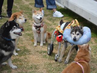 介護犬0を目指して、老犬のバイブル「ぐらんわん!」を書籍化!