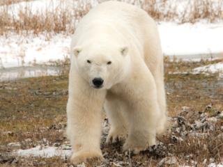 極地に生きる!絶滅危惧のホッキョク熊の命を写真に残したい!