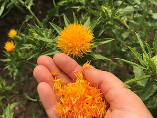 山形の県花「紅花」を次世代へ。こだわりの新商品を開発!