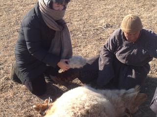 モンゴル国のカシミヤを岡山県の地場産業の技術協力で生産したい