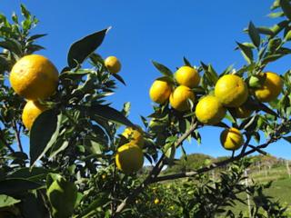 静岡県島田市で荒廃茶園を再生!柑橘類じゃばら栽培で地域活性を