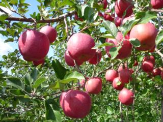 今年も真っ赤に実らせたい!青森・りんご園再生プロジェクト