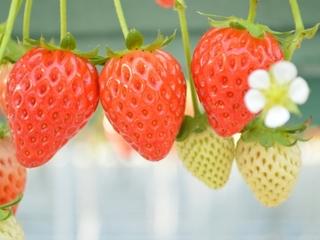 春から家族で新規就農!十勝産イチゴのおいしさを広めたい!
