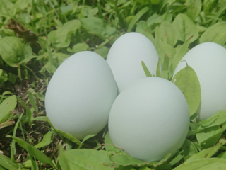本当に安心で美味しい卵を…。自然なままの鶏の姿を目指したい